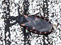 Unknown Beetle. - Triatoma sanguisuga