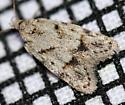 Tortricidae species?  - Symmoca signatella