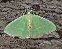 red-fringed emerald - Nemoria bistriaria