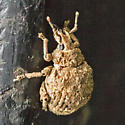 Crusted Root Weevil - Pseudocneorhinus bifasciatus - female