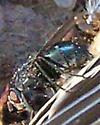 Blow Fly - Cynomya cadaverina