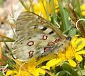 Rocky Mountain Parnassian - Parnassius smintheus - Parnassius smintheus