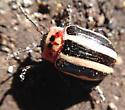 beetle - Calligrapha californica