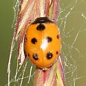 nine-spotted ladybird beetle? - Coccinella undecimpunctata
