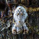 Snowy-shouldered Acleris - Acleris nivisellana