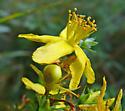 flower crab spider - Misumena vatia - female