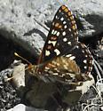 One more - Euphydryas chalcedona - male