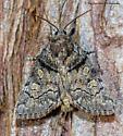 Unknown Moth - Cosmia praeacuta