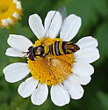 A. obliqua? (on Tanacetum parthenium) - Allograpta obliqua