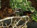 Common Whitetail (immature adult) - Plathemis lydia - male