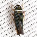 Sharpshooter Leafhopper - Tylozygus bifidus