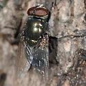 Rotting Tree Dweller 18 - Phormia regina