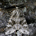 Pachypolia - Pachypolia atricornis