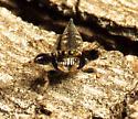 Spider - Cheliferoides segmentatus - male