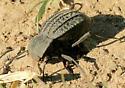 Tenebronidae - ? - Philolithus sordidus