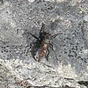 Asilidae 6-24-10 01a - Lasiopogon monticola