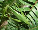 Amblycorypha - Amblycorypha oblongifolia