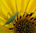 tree cricket - Oecanthus - female