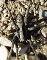 Sunning Spider Thinking Hogna in Lycosidae - Hogna frondicola