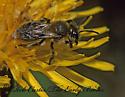 237929 Andrena - Andrena