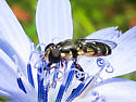 Hoverfly ? - Syritta pipiens