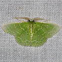 Southern Emerald Moth - Synchlora frondaria