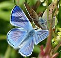Blue Copper? - Lycaena heteronea - male