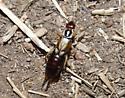Female Earwig - Forficula auricularia - female
