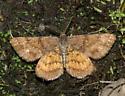 Geometer moth - Ematurga amitaria - male