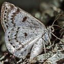 Unknown Moth - Lomographa semiclarata