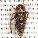 Aphrodinae Leafhopper - Xestocephalus tessellatus