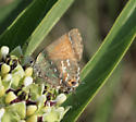 Hairstreak - Callophrys gryneus