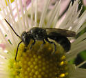 One on asters - Chelostoma philadelphi - male