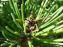 Wasp? - Polistes dominula - female