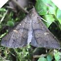 Speckled Renia Moth - 8386 - Renia adspergillus