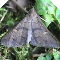 Speckled Renia Moth - 8386 - Renia adspergillus - male