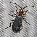 Beetle 06.27.2009 002 - Polemius repandus
