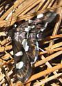 Moth - Desmia