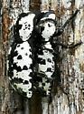 Zopherus nodulosus haldemani  - Zopherus nodulosus