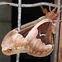 Callosamia angulifera - male