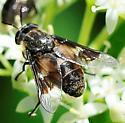 Deer Flies KFN Bioblitz - Chrysops excitans - female