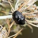 bug - Corimelaena pulicaria
