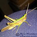 Clip-wing Grasshopper - Metaleptea brevicornis - male