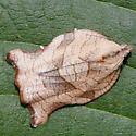 Chanticleer Gardens Moth - Archips purpurana
