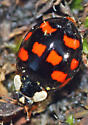 Lady Beetle - Harmonia axyridis