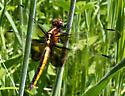 Widow Skimmer? - Libellula luctuosa - female