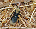 Velvet ant - Dasymutilla sackenii - male