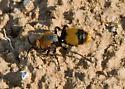 Velvet Ant - Dasymutilla occidentalis - female