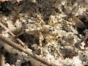 Spida - Arctosa littoralis