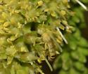 Ghost Bee - Perdita punctosignata